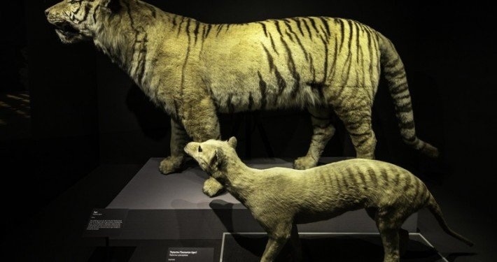 Tiger and Thylacine